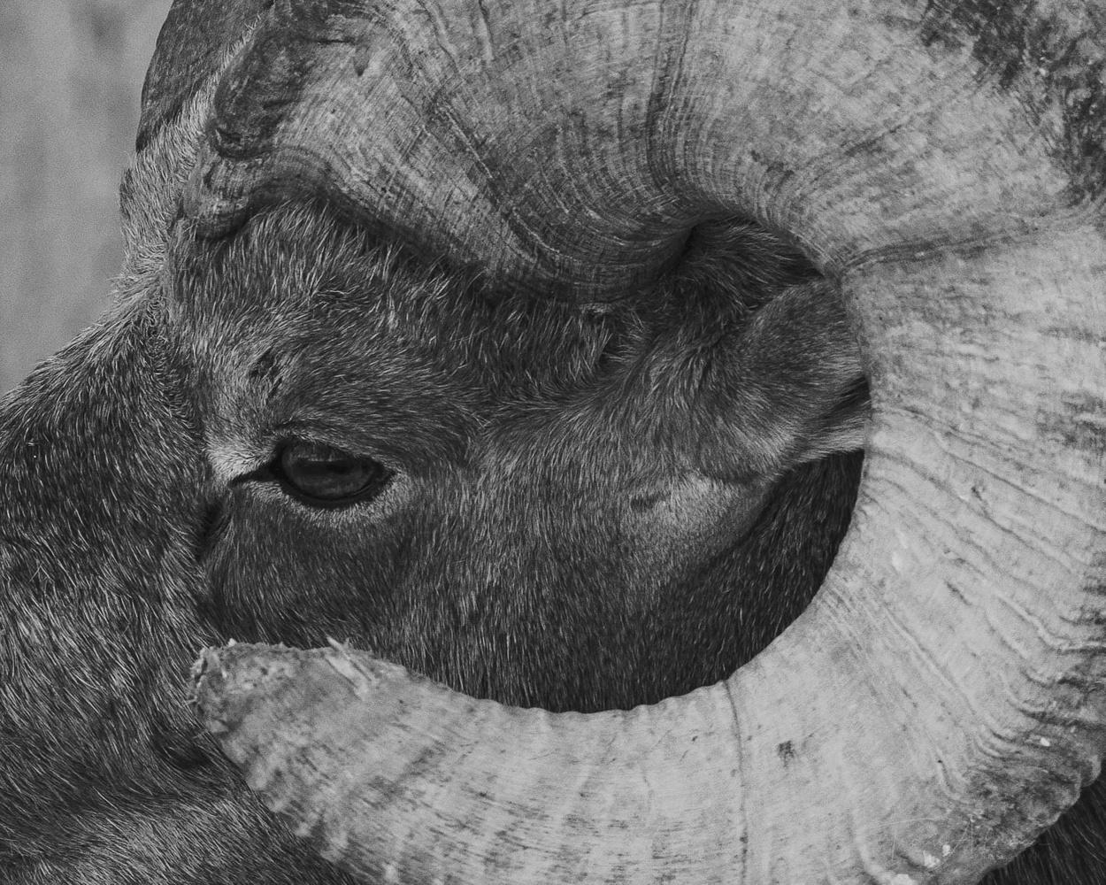 Bighorn ram by Travis Ackerman