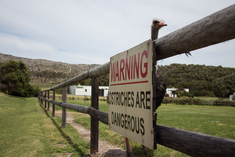 Ostriches are Dangerous by Jacqueline Joel