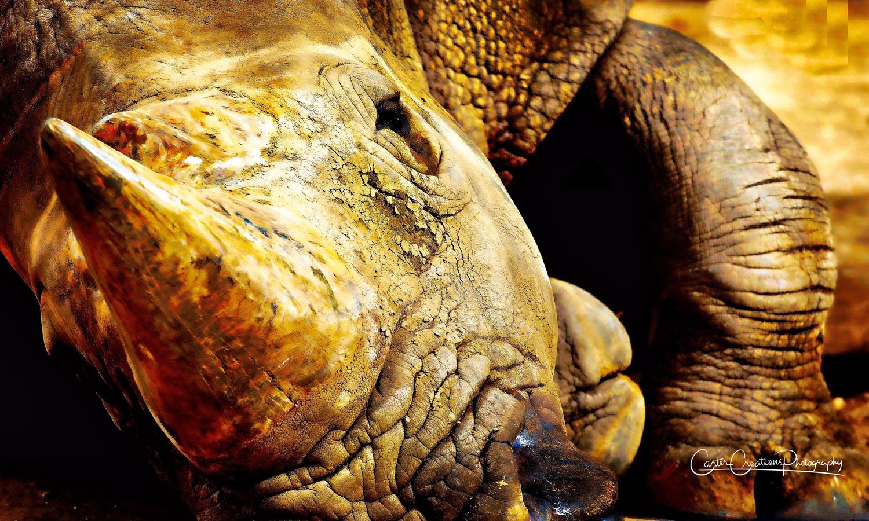 Rhino by Chuck Carter