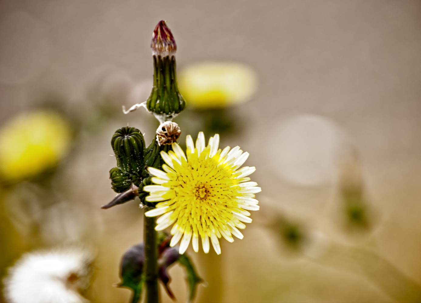 Dandelion by Shawn Donnelly