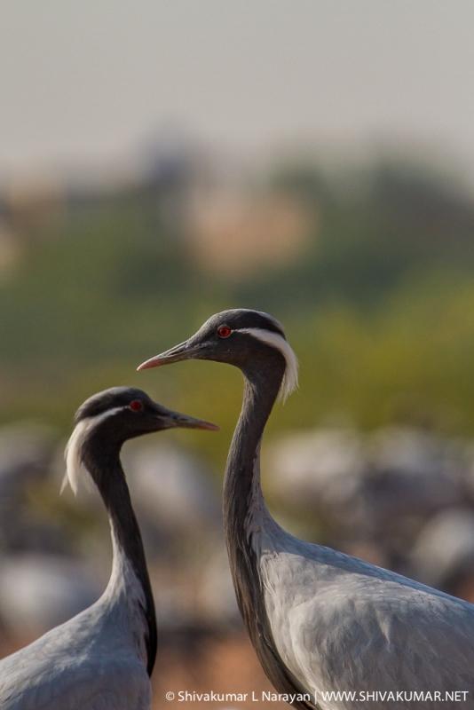 Crane Pair by Shivakumar Lakshminarayana