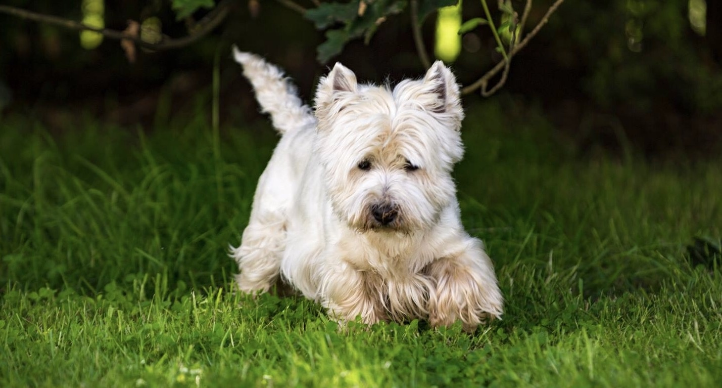 West Highland Terrier by Jim McConnell