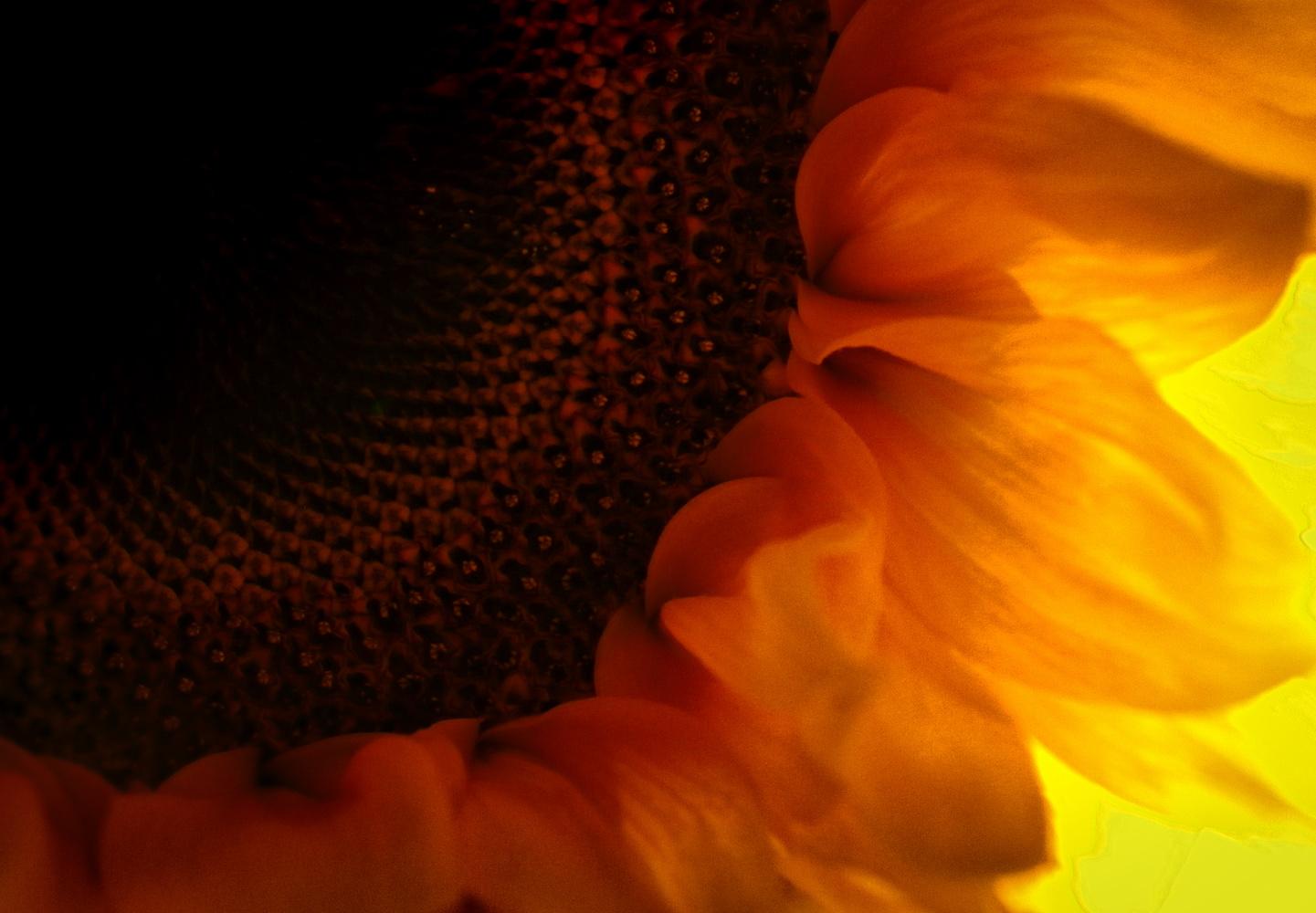 Sunflower Macro by David Ross