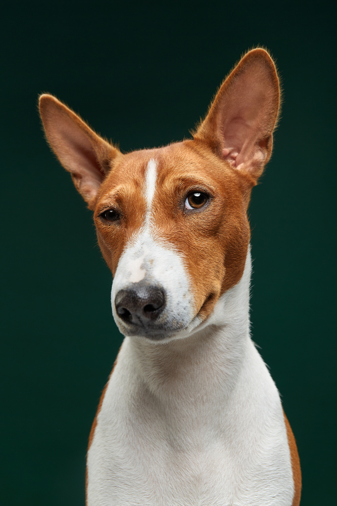 Sceptical Fiji, the Basenji by Alexander Khokhlov
