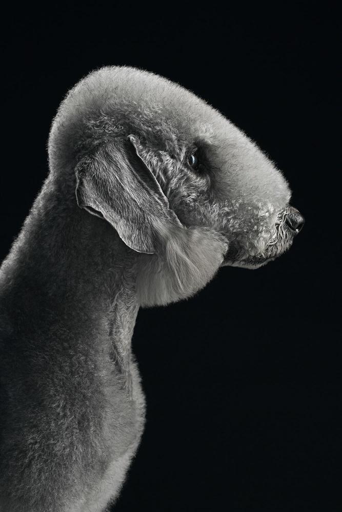 Bedlington's profile by Alexander Khokhlov