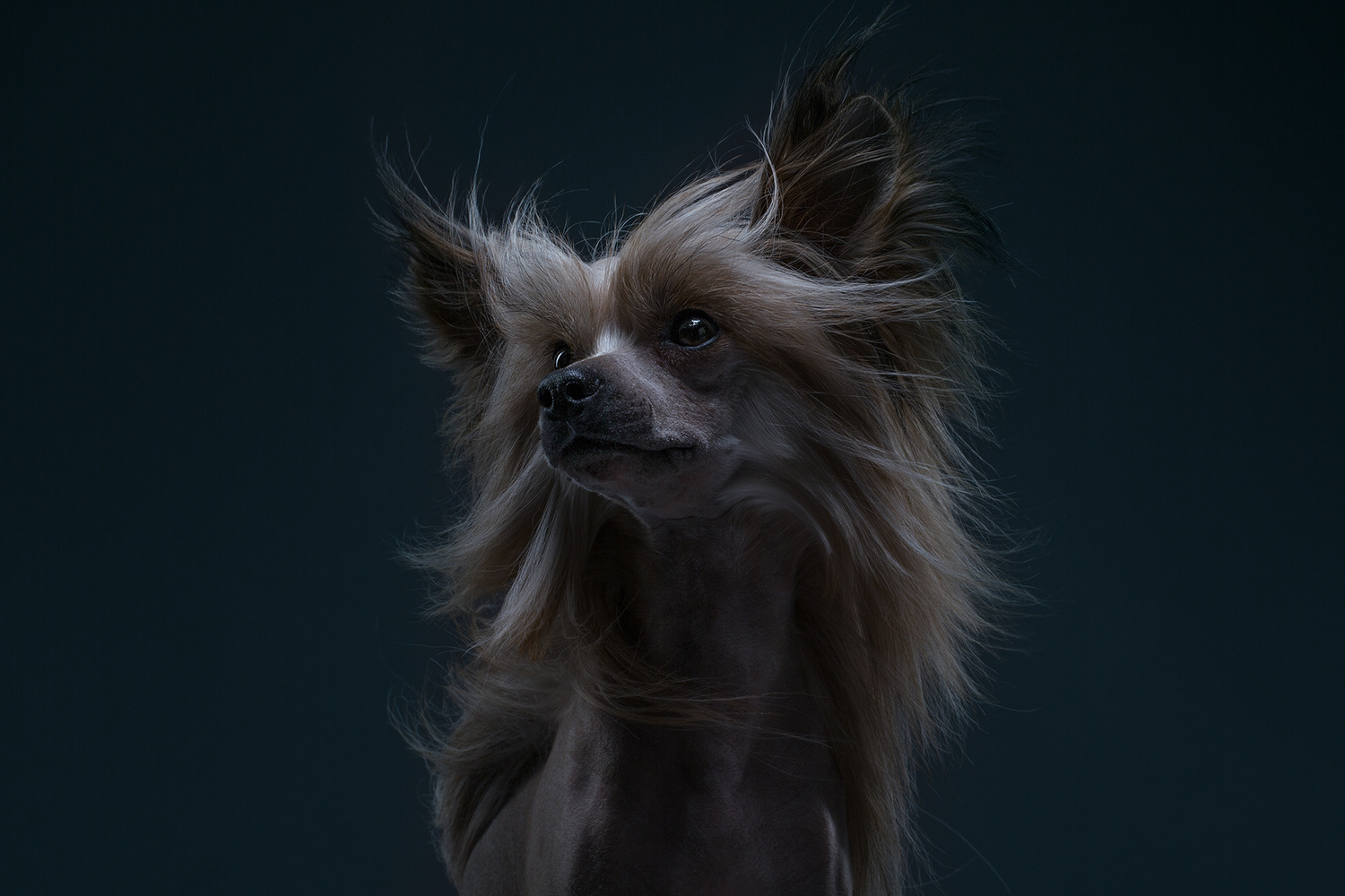Elisey, the Chinese Crested Dog by Alexander Khokhlov