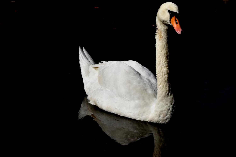 Swan beauty  by Conrad Stoltzfus