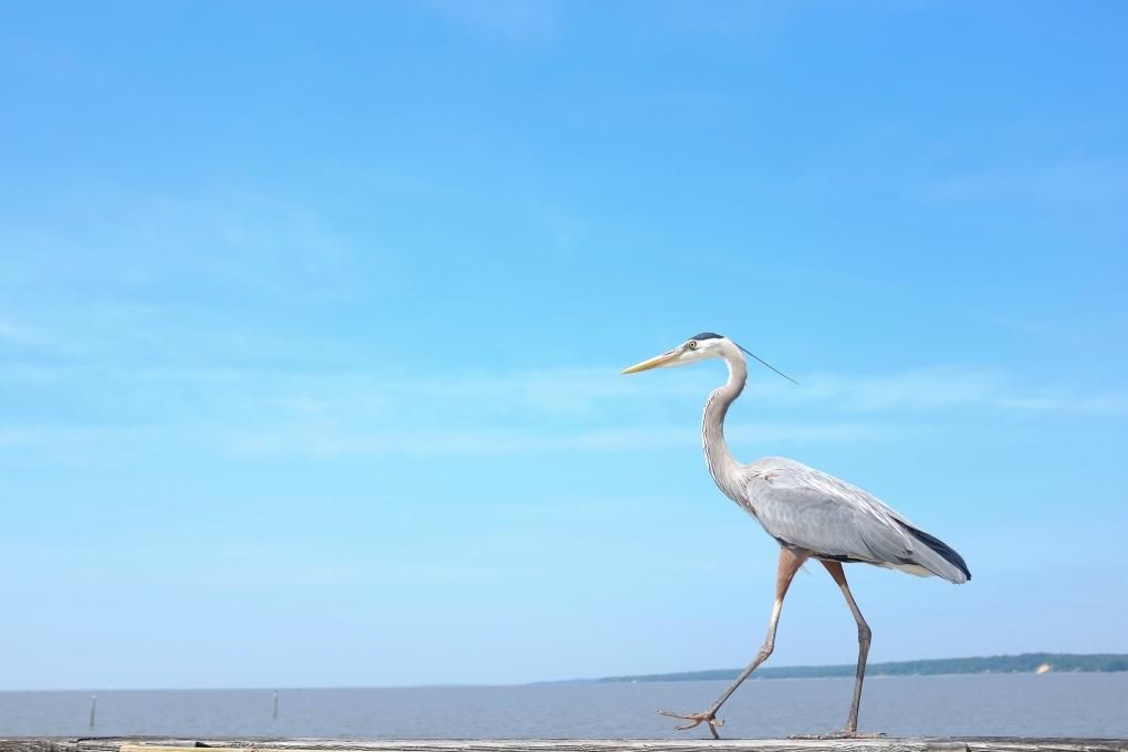 Heron by Chris Forman