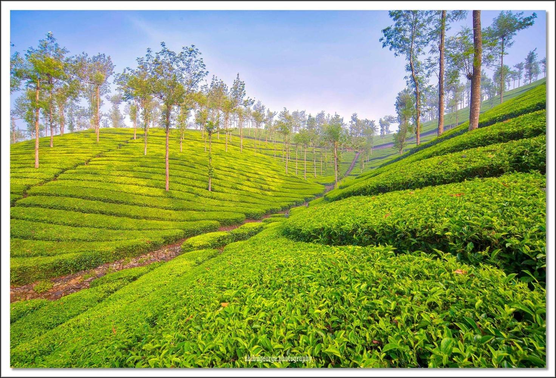 Tea plantation, India by SHIBU GEORGE