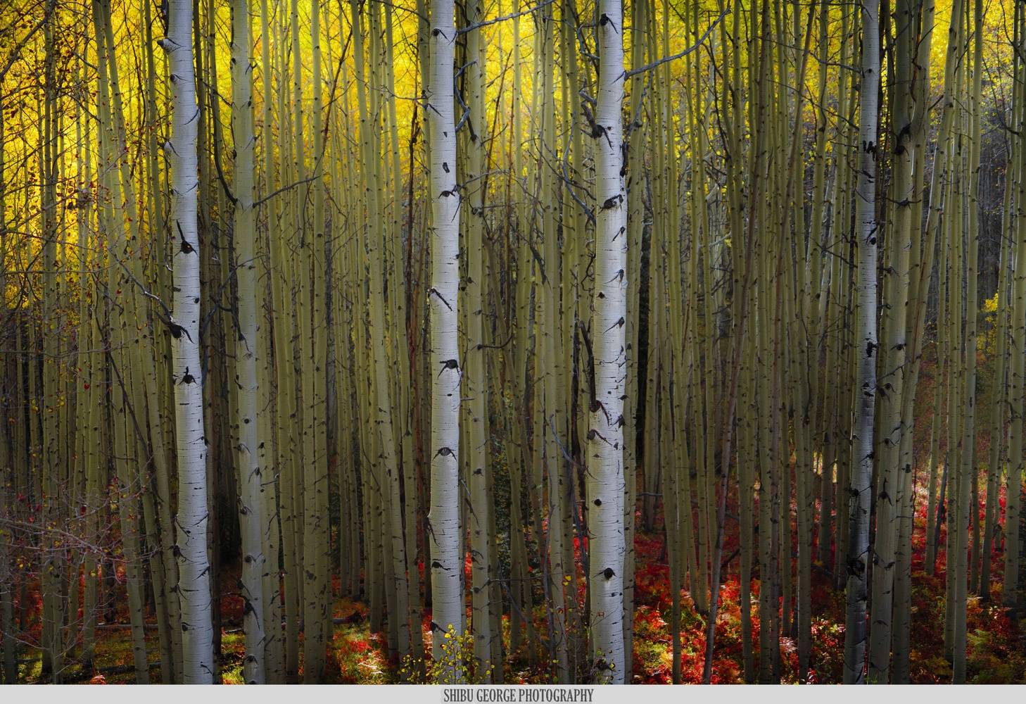 Aspen Glow by SHIBU GEORGE