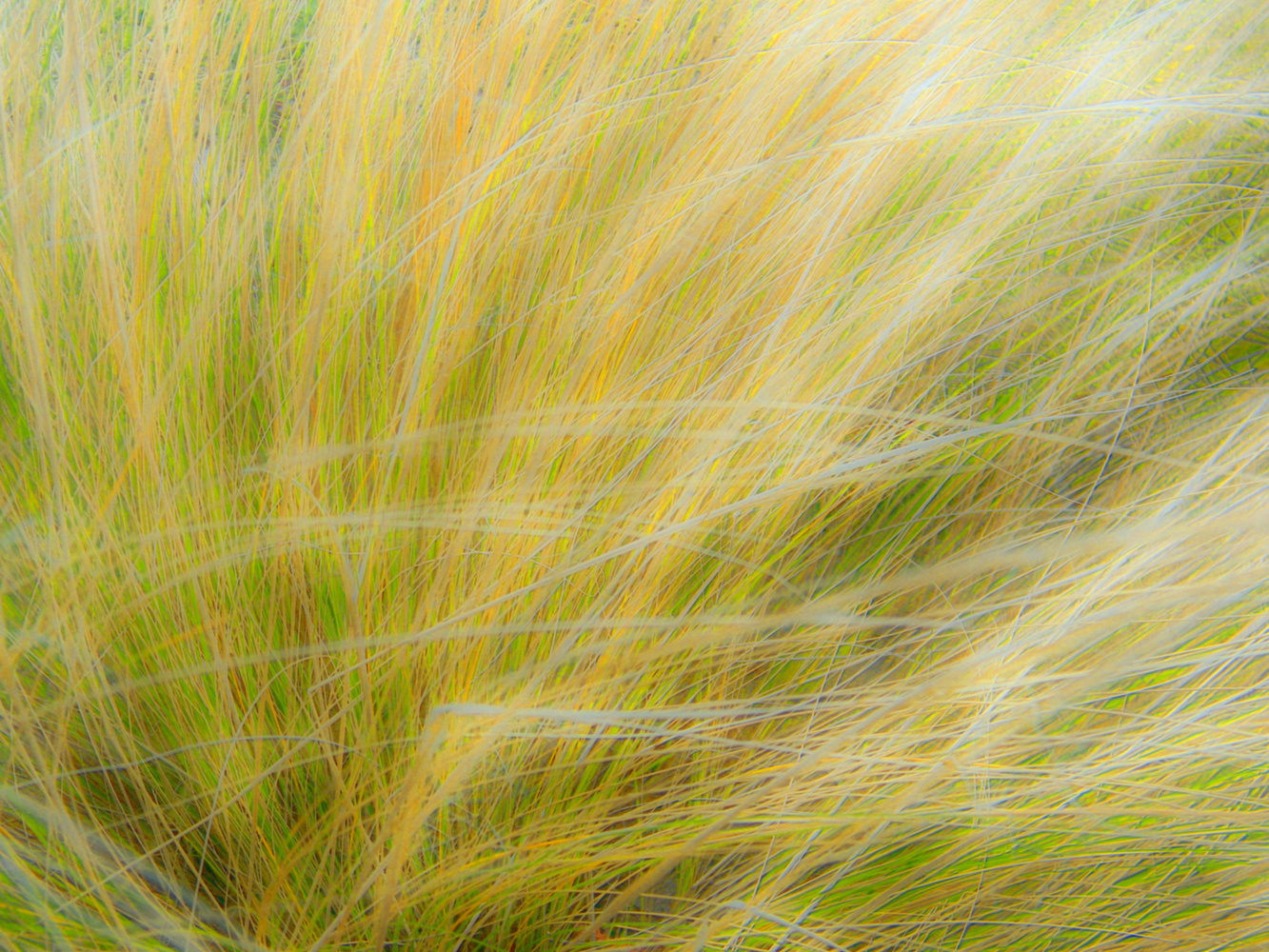 Ornamental grass in the winter. by Chris Snyder