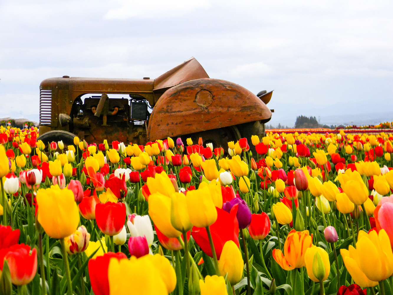 Tractor and tulips by Chris Snyder
