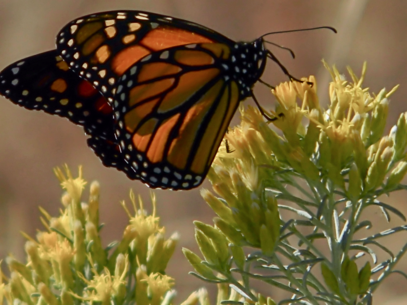 Fall butterfly by Chris Snyder