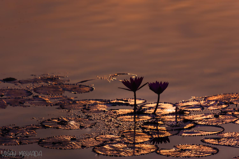 Water Lilly by Vijay Mewada