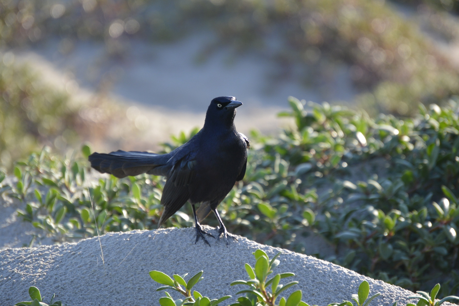 Common Grackle by Robert Bruton