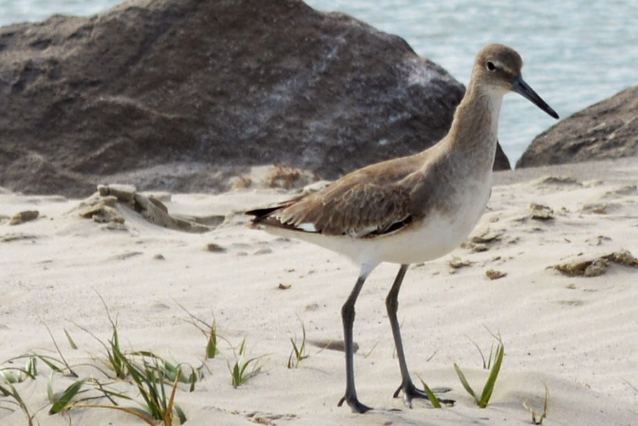 Sand Piper  by Robert Bruton