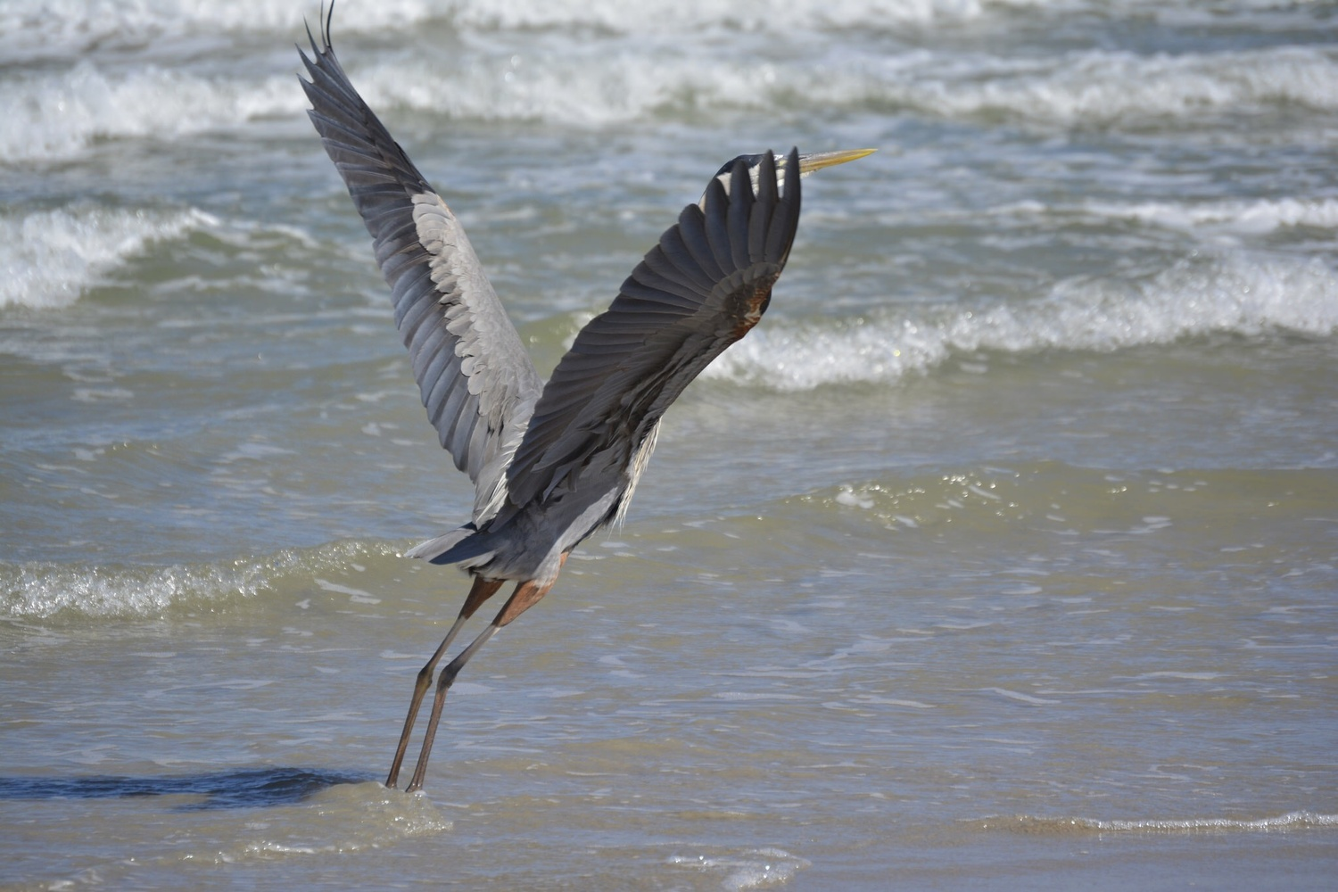 Blue Heron taking off on beach by Robert Bruton