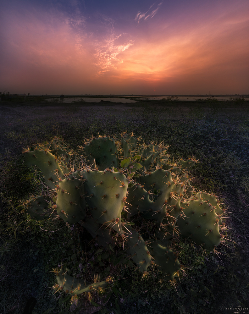 Prickly Pear by TANAY DAS