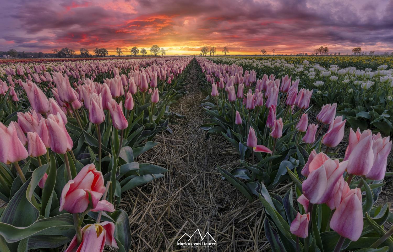 Tulips by Markus van Hauten