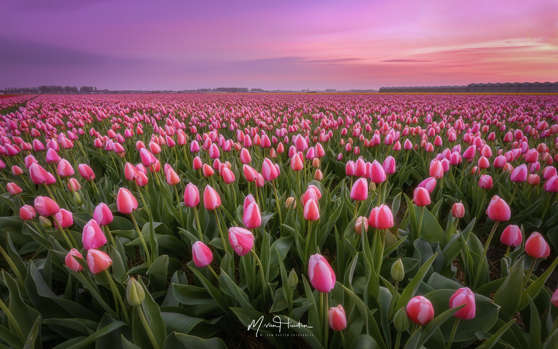 Pink dreams by Markus van Hauten