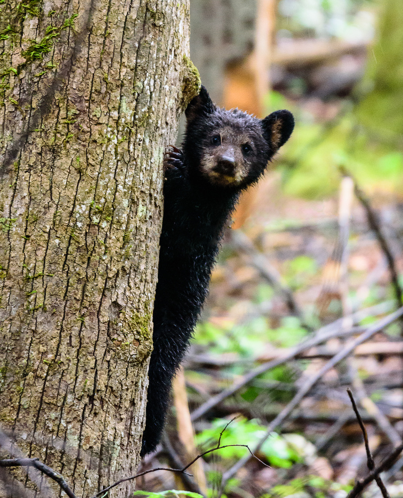 Black Bear Cub 1 by Matt Coppage