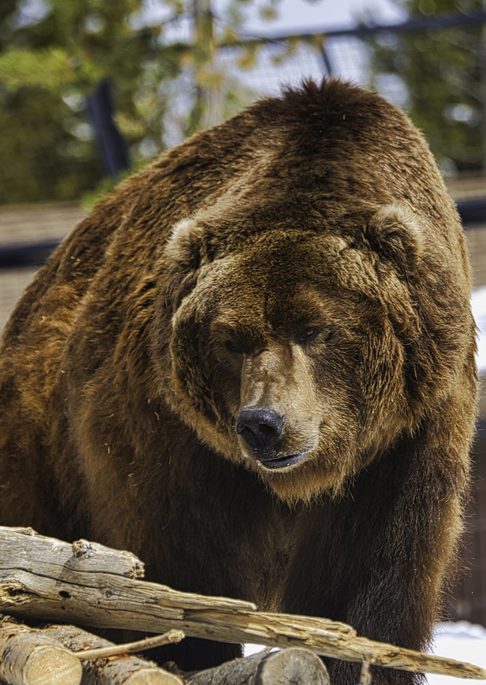 Big Bear Grizzly by Steve Meredith