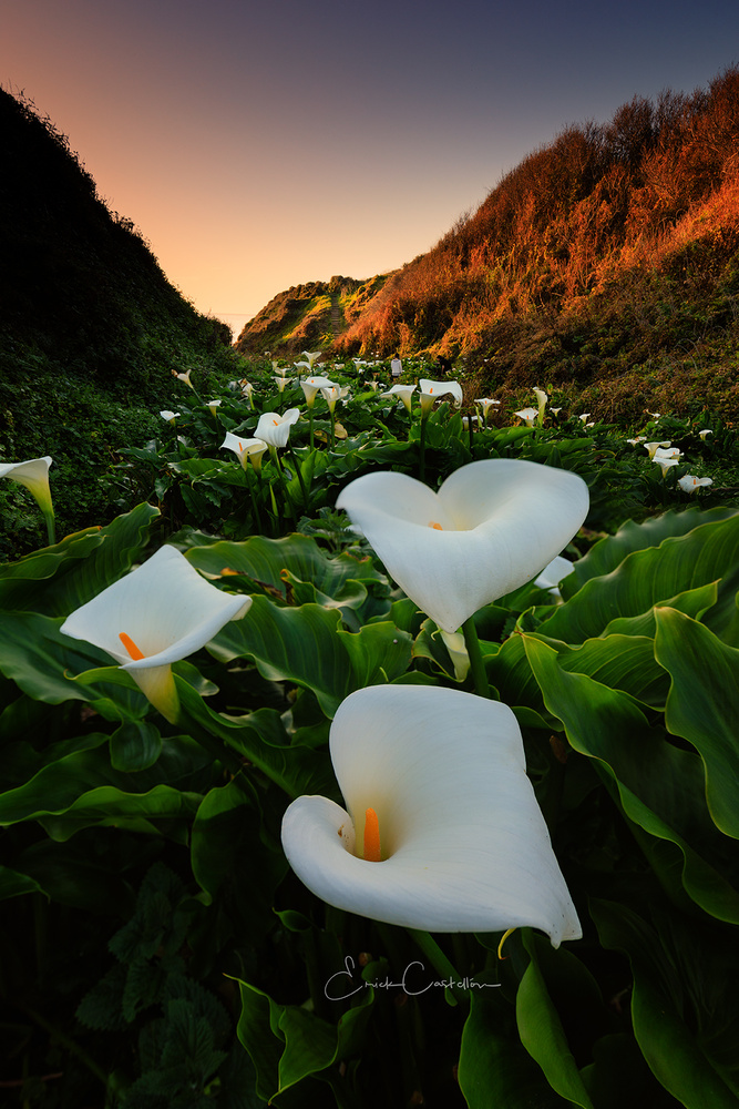 Among the Calla Lily by Erick Castellon
