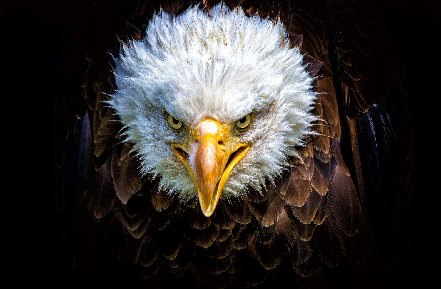 Angry north american bald eagle by Stefano Venturi