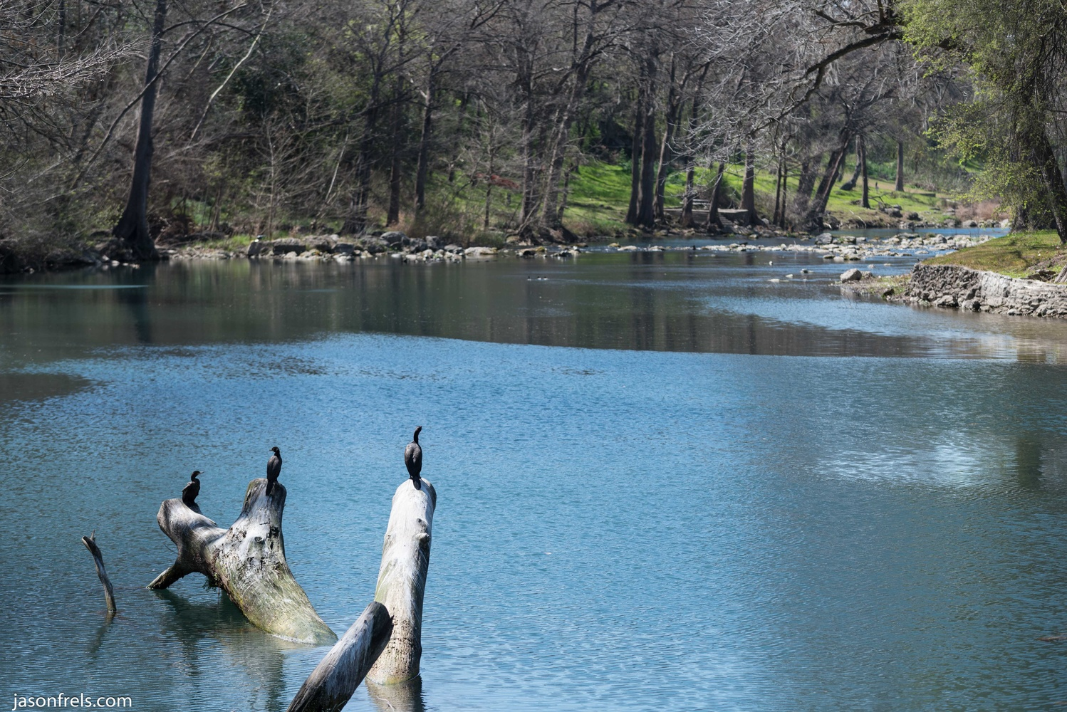 Cormorants on the Guadalupe River by Jason Frels