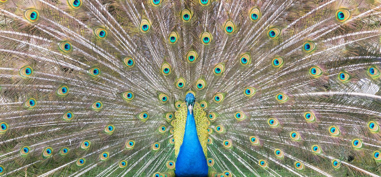 Peacock by John Petter Hagen