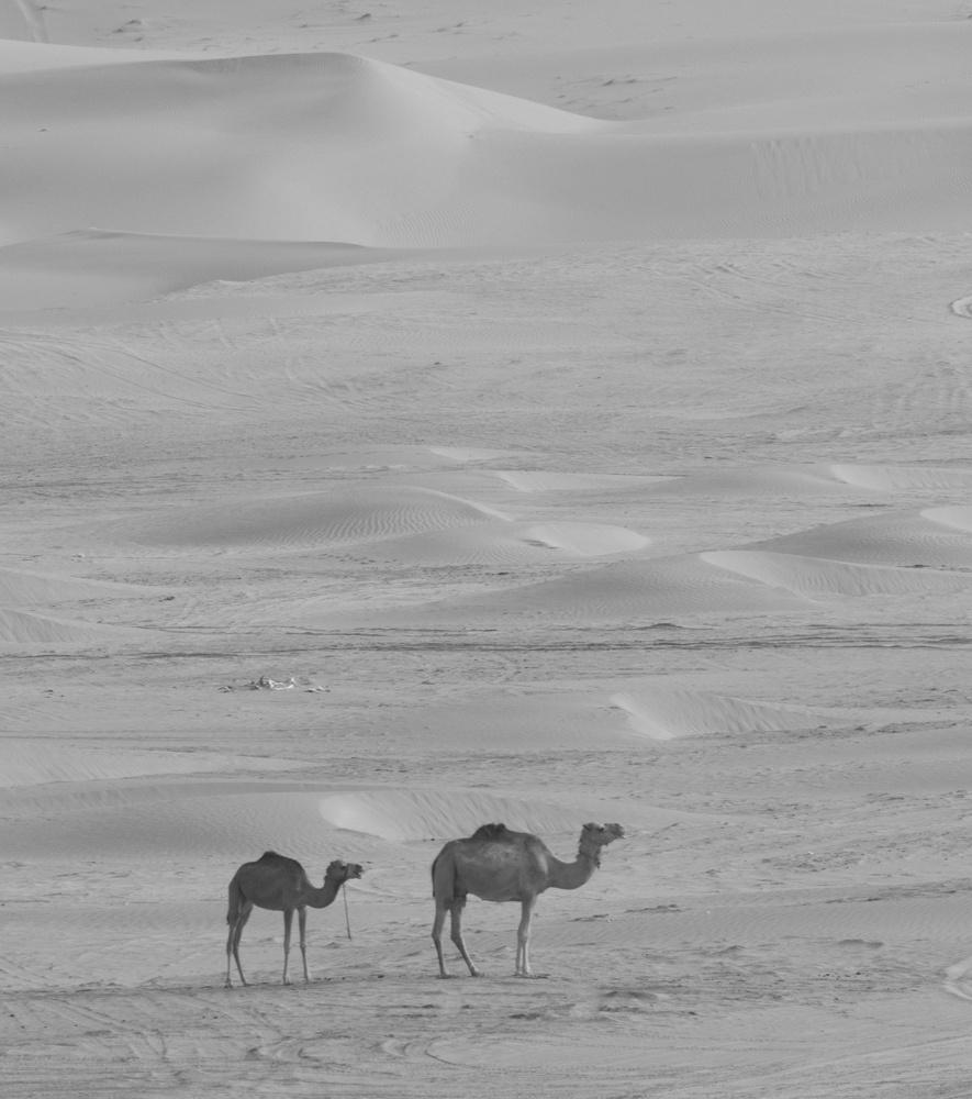 Desert camels by Ron Cunningham