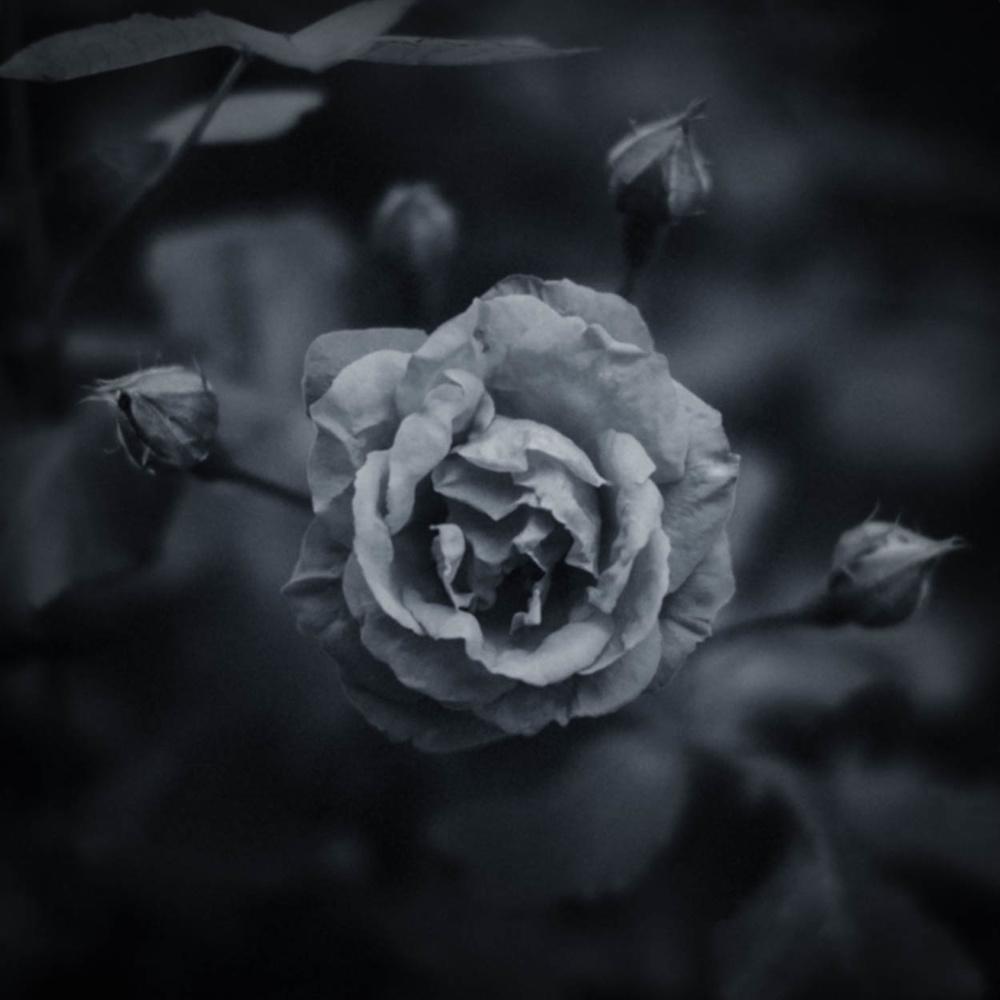 Rose in BNW Bloom by Duane Dinham