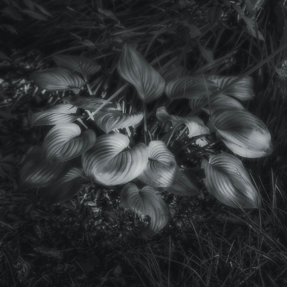 Silver Leaves by Duane Dinham