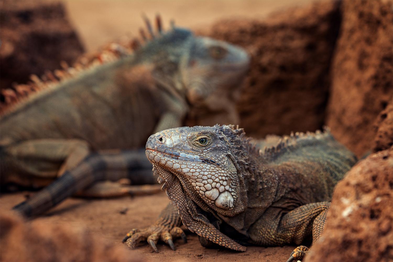 Iguanas by Andrei Barbier