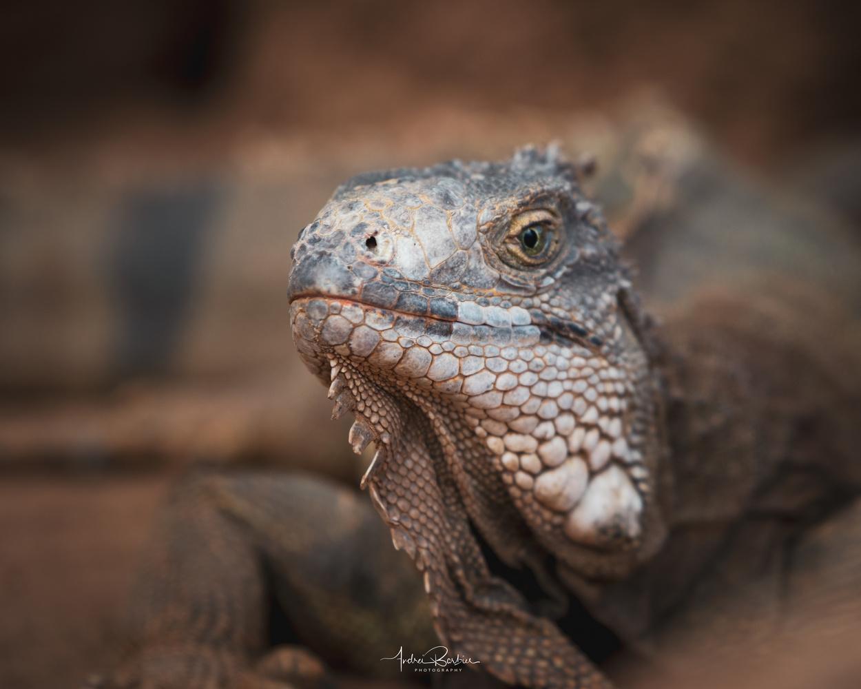 Iguana by Andrei Barbier