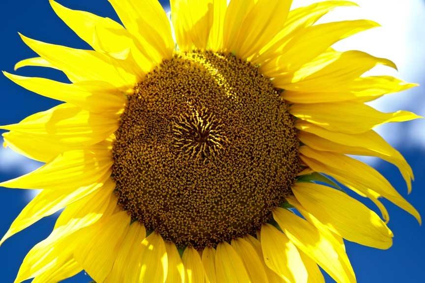 Sunflower by Jan olsen
