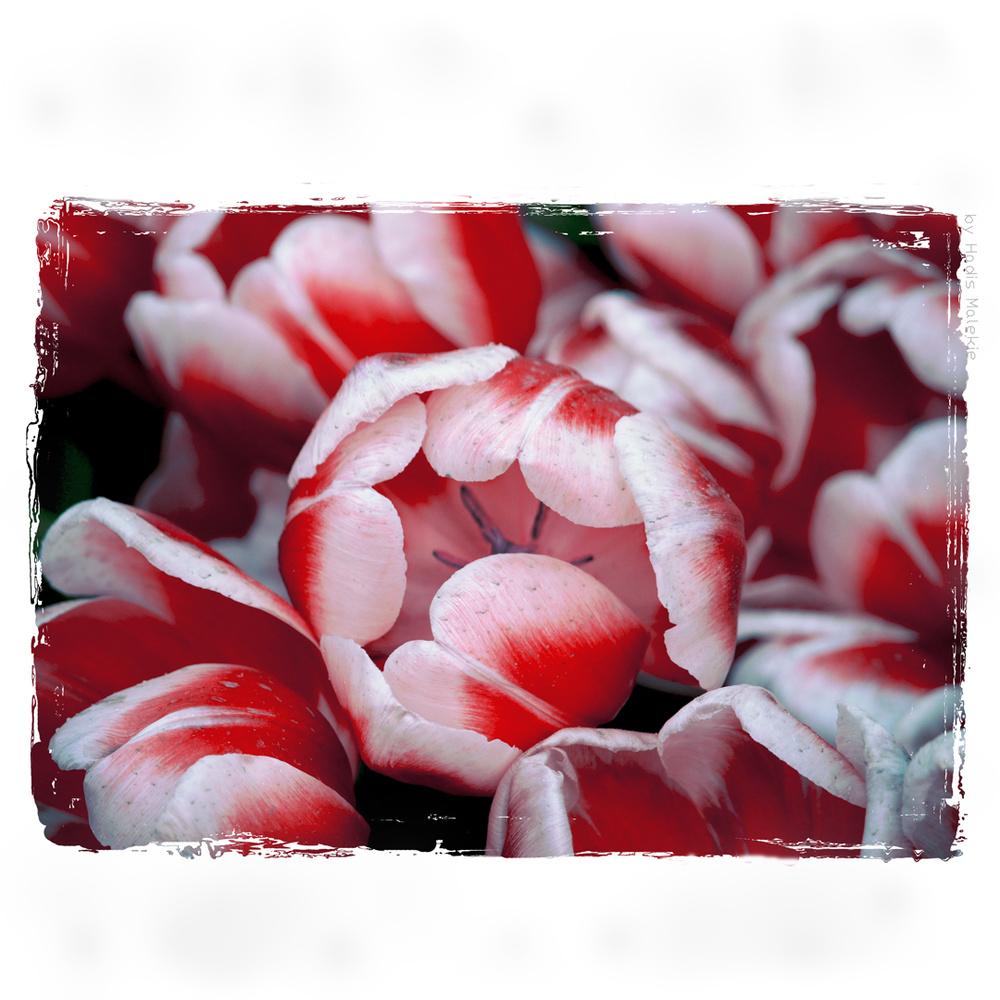 Tulips by Hadis Malekie