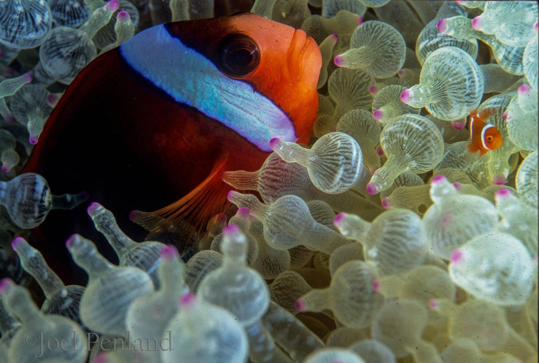 Clownfish by joel penland