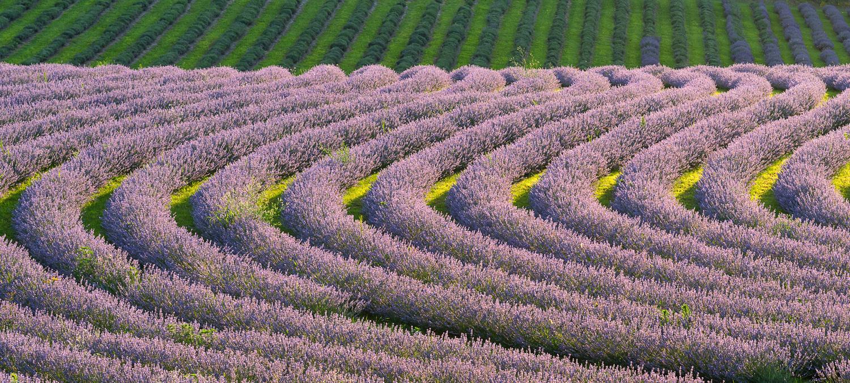 Lavender in Koroshegy by Gabor Szarvas
