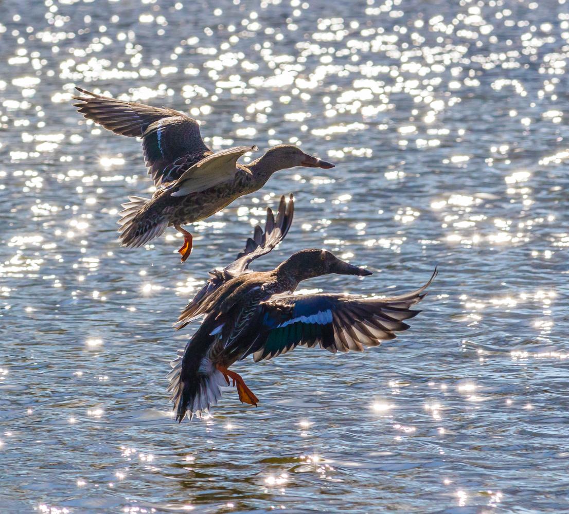 Ducks landing on the pond. by Jeremy Carpenter