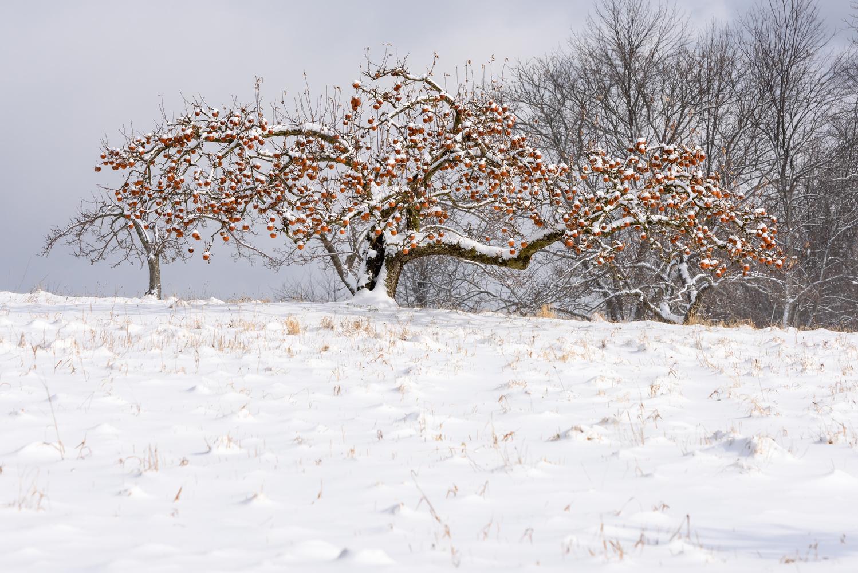 winterscape forbidding Fruit by SC Frieze