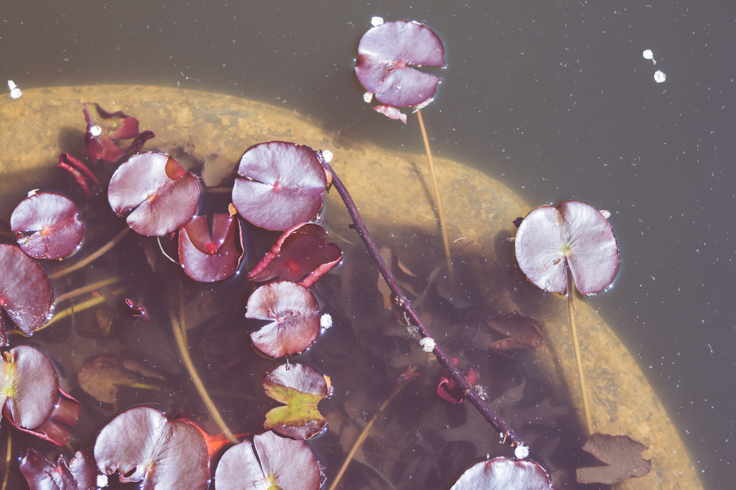 Water Lillies by Benjamin Prater