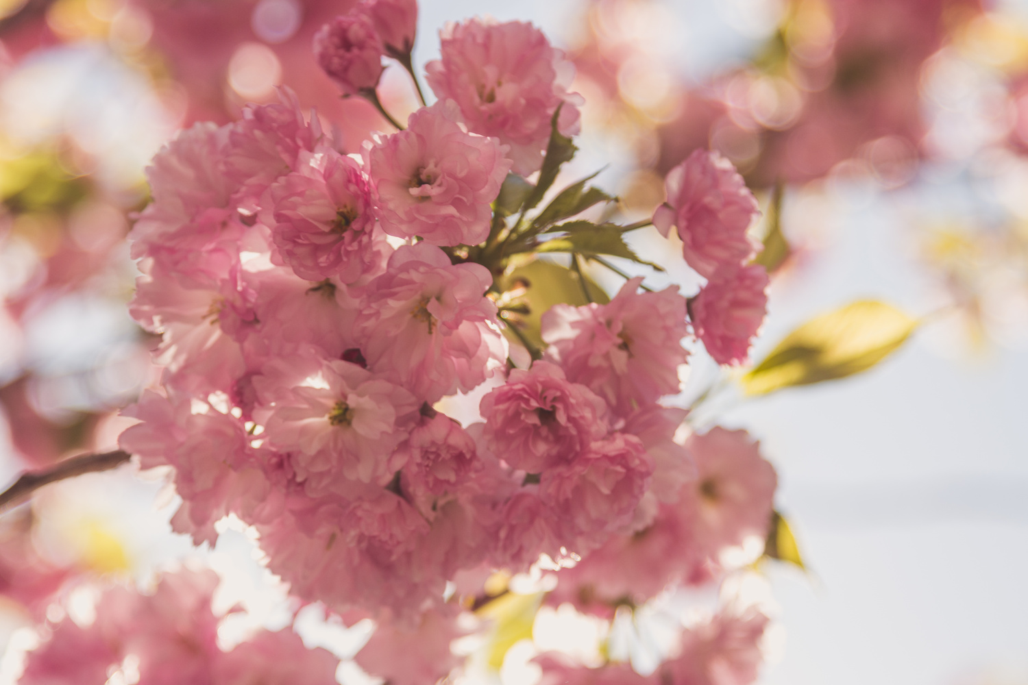 Cherry Blossoms by Benjamin Prater