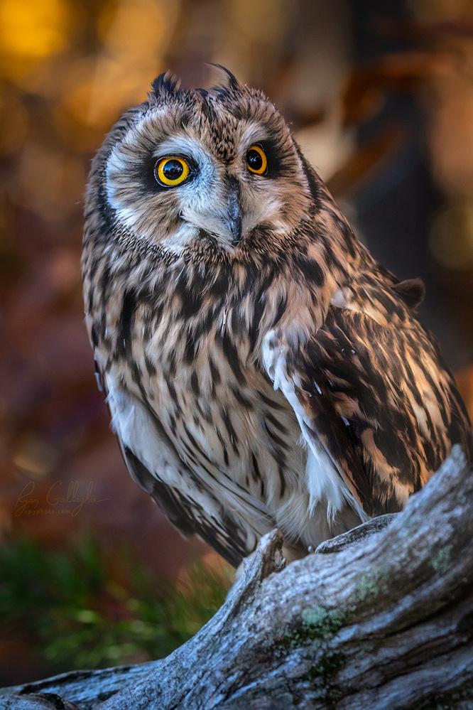 Male Short Eared Owl by Ryan Gallagher