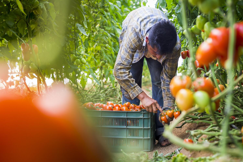 Piscador de Tomates by Alberto Lopez