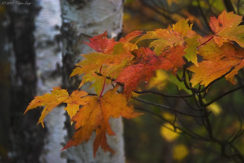 Fall Leaves, Vermont by Olga Sergyeyeva