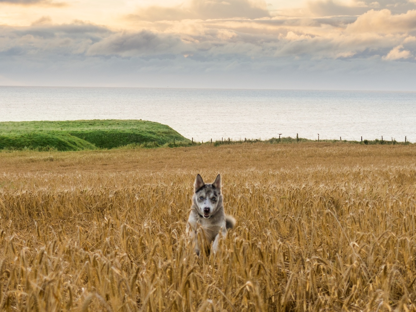 Happy with wheat by Martin Carrera