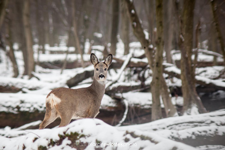 Winter roe deer with a gear story by Marcin Świostek