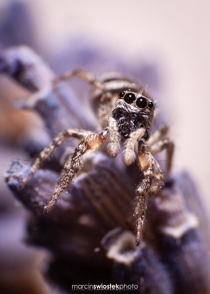Salticidae sp. by Marcin Świostek