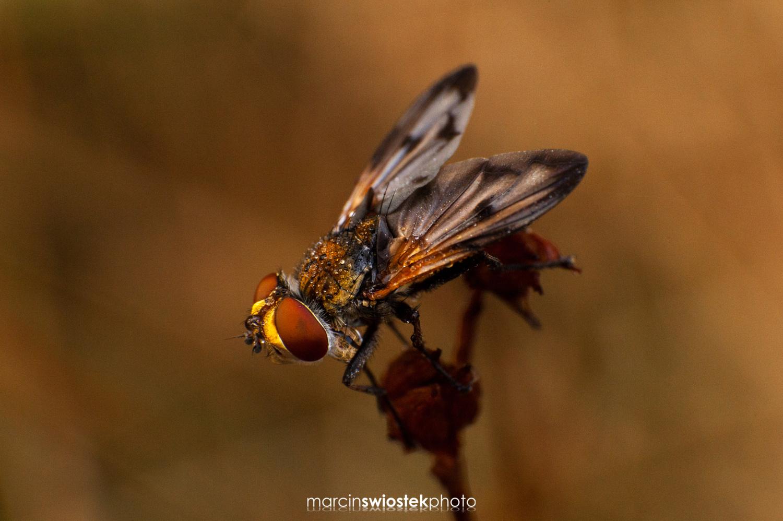 Ectophasia crassipennis by Marcin Świostek